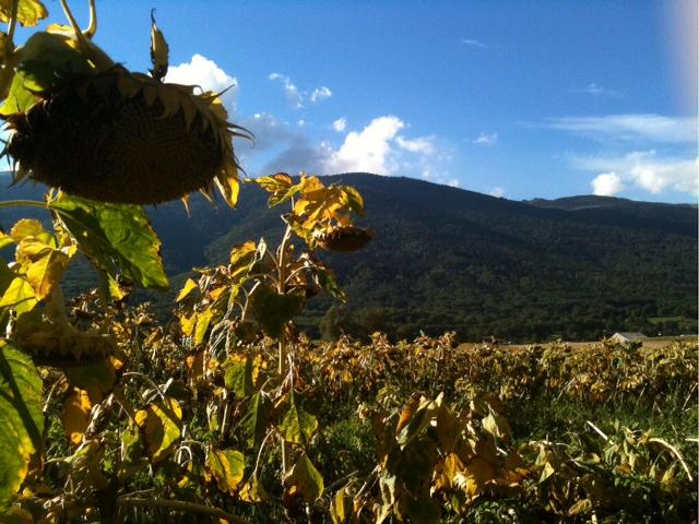 sunflower wilting