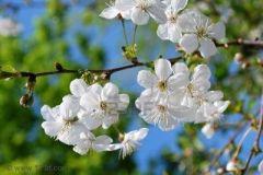 white-cherry-flowers