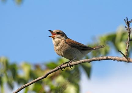 bird-singing1