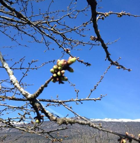 blossom tree 140413