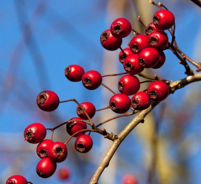Hawthorn_berries