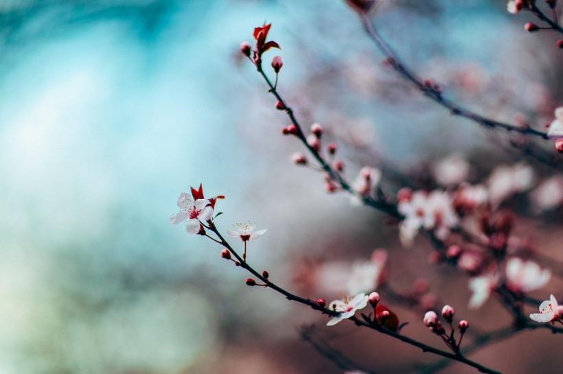 cherry-blossom-1209577_960_720