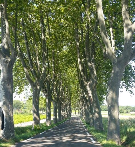 plane-trees