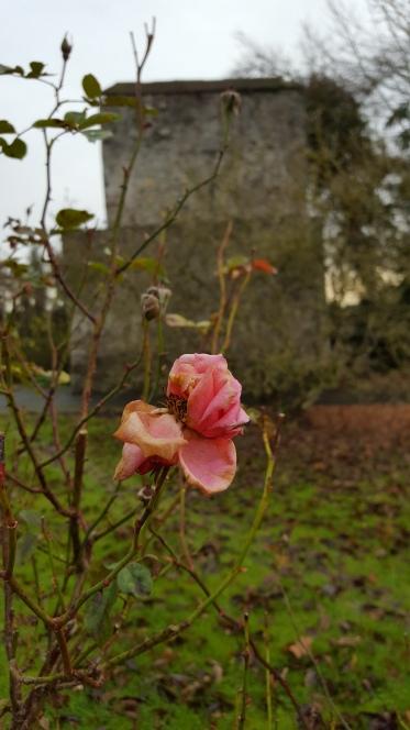 last-rose